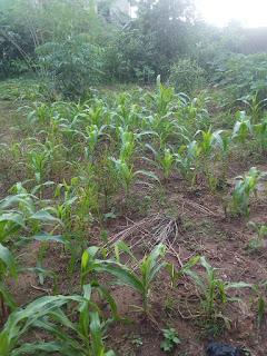 crop improvement process