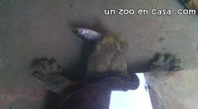 Kinosternon hirtipes comiendo un pez