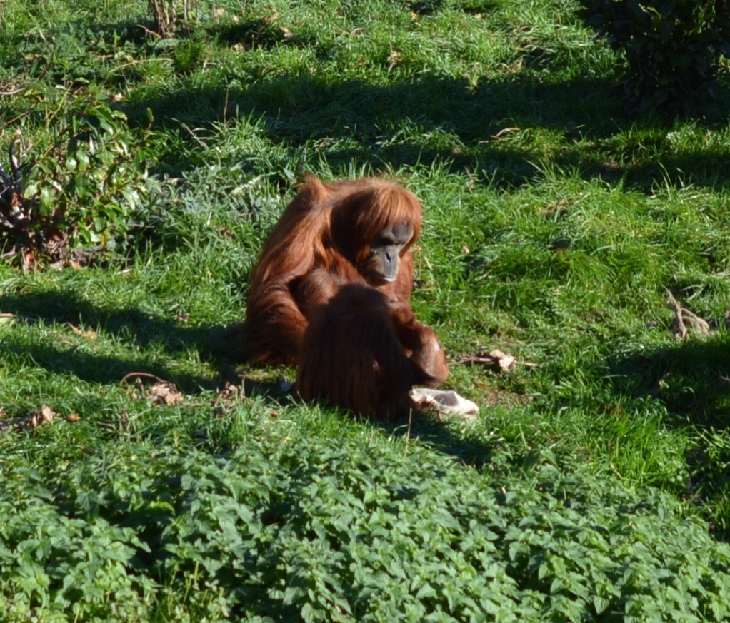 Tips for Visiting Chester Zoo from Newcastle - Orangutan enclosure