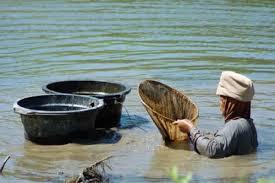 Cacing Sungai Untuk Budidaya Ikan