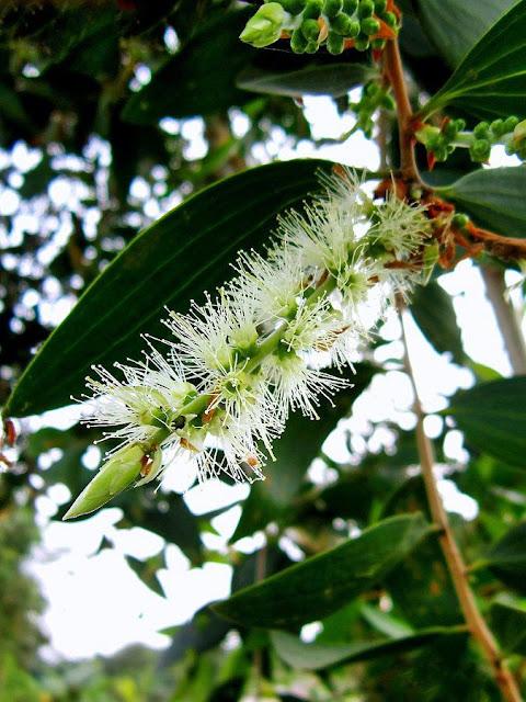 Hoa TRÀM VÀ TINH DẦU TRÀM - Melaleuca leucadendra - Nguyên liệu làm thuốc Chữa Ho Hen