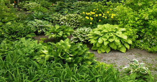 Growing Great Hostas!
