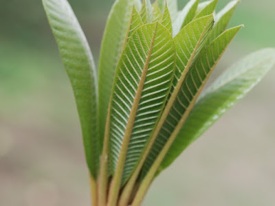 Nuove foglie Pouteria sapota