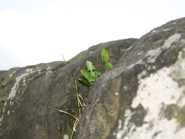 Dandelion growing in the gap between stones on a stone wall.