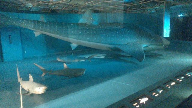 Modelo de tiburón ballena en la parte inferior de la balsa Kon-Tiki