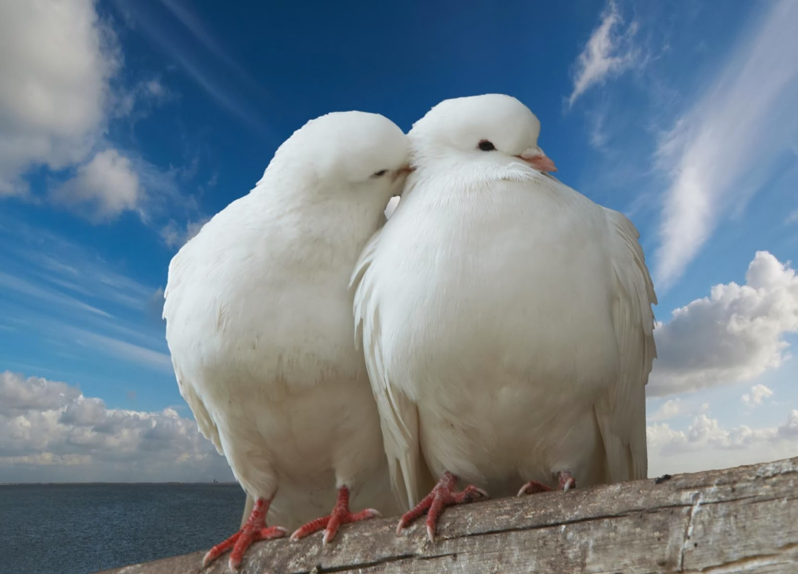 10 most beautiful pigeon birds latest hd wallpapers 2013 - Animal and bird hd wallpaper ...