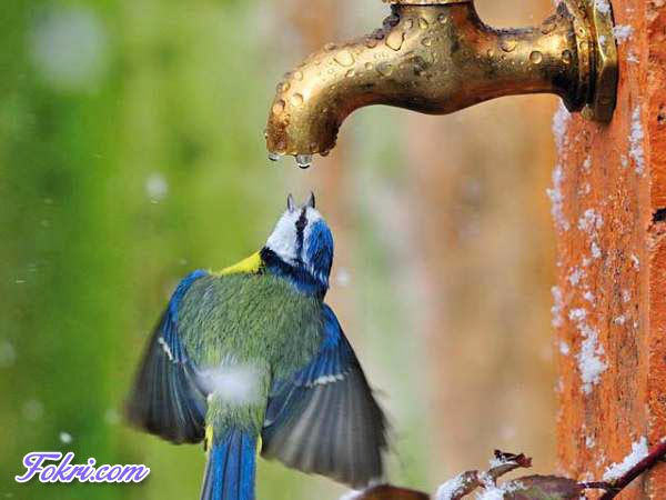 Bird Drinking water under tap