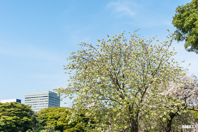 浜離宮恩賜庭園の鬱金桜