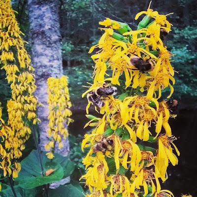 tähkämäiset keltaiset kukinnot korkea kasvi paljon mehiläisiä leveät lehdet nauhus