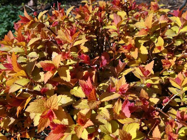 krzew o kolorowych liściach