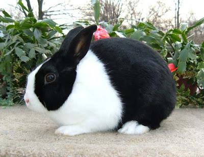 Contoh Descriptive Text Tentang Hewan kelinci (rabbit)