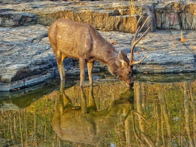Sambar Deer Panna National Park