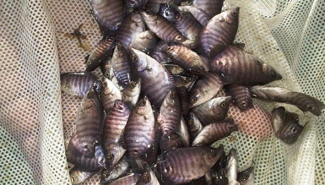 Benih Ikan Gurame - Budidaya Ikan