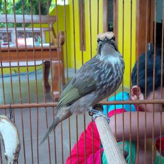 Burung Cucak Rowo - Cara Melatih Cucak Rawa Berkicau - Penangkaran Melatih Cucak Rawa Berkicau