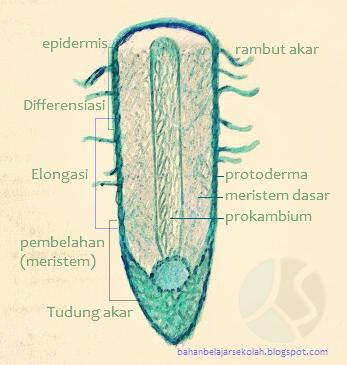 Akar merupakan organ flora yang berperan aktif dalam pertumbuhan dan perkembangan tumb DAERAH PERTUMBUHAN PADA UJUNG AKAR, LETAK DAN CIRI-CIRINYA