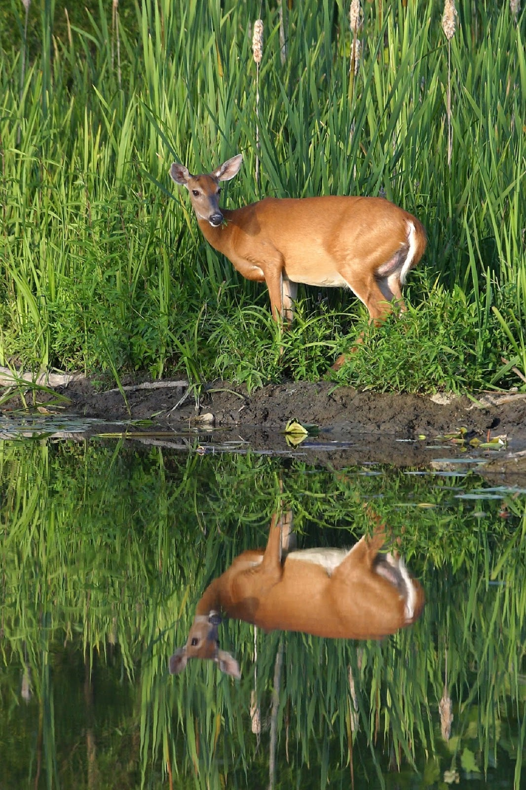 A picture of a white tailed deer.
