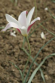 Tulipe de l'Écluse - Tulipa clusiana - Tulipe de Perse