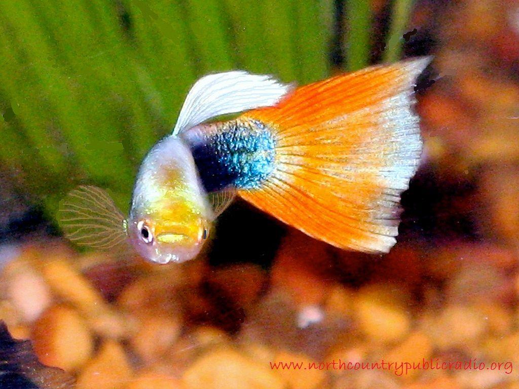 Guppy - Jenis Jenis Ikan Hias Air Tawar Aquascape Paling Lengkap