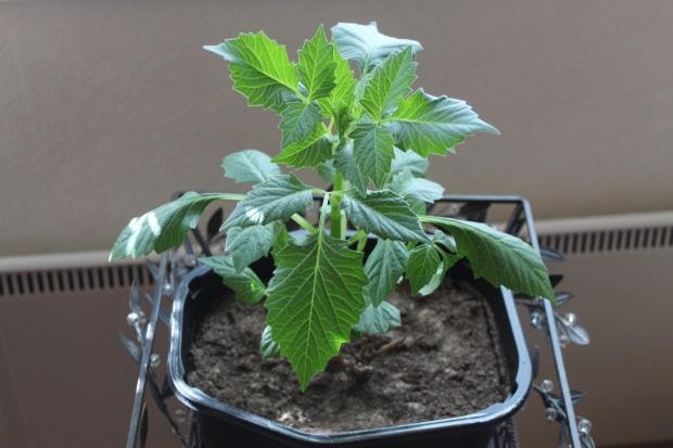 Kellarissa talvetetun daalian taimi.