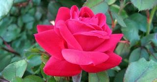 bunga-mawar-surabaya23
