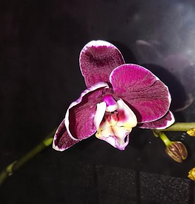 Phalaenopsis 'Deborah'