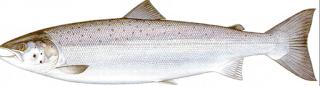 immature Female - Jenis Jenis Ikan Salmon