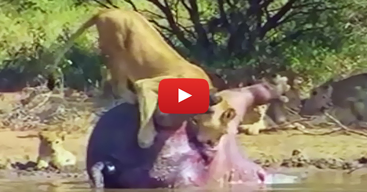 Bangkay ng Hippopotamus, sumabog habang kinakain ng Leon