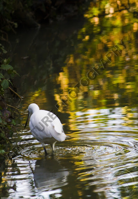 Little egret standing in a stream