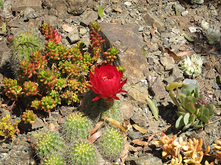 cactus in bloom, and a variety of other succulents