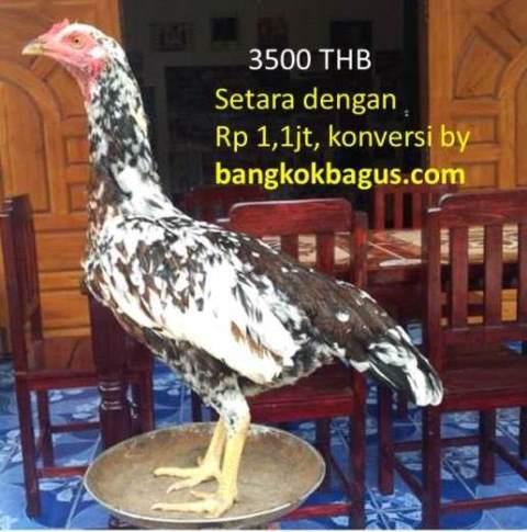 Ayam Burma Di Thailand AYAM ADUAN BANGKOK ADU AYAM BANGKOK Ayamaduan