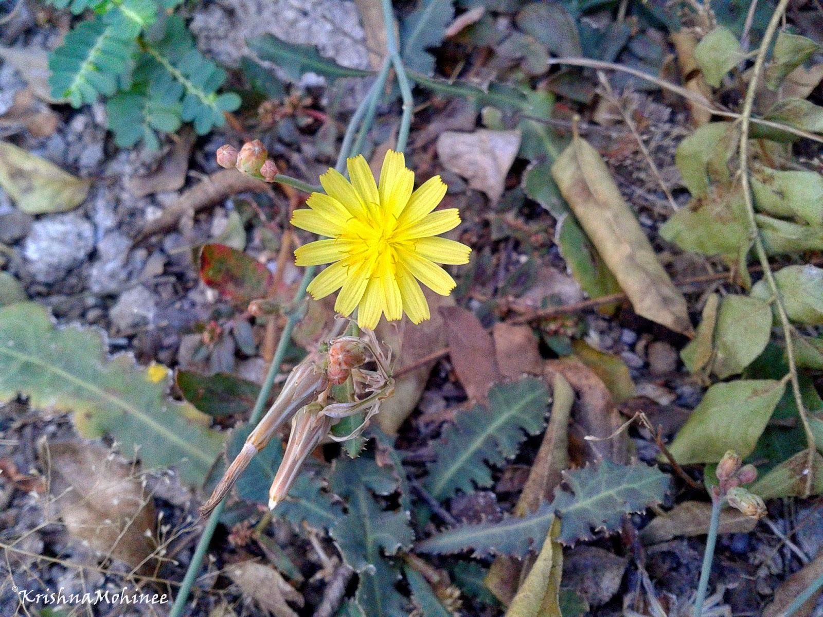 Image: Golden yellow wild flower