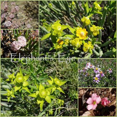 Crassula, Euphorbia Felicia Oxalis
