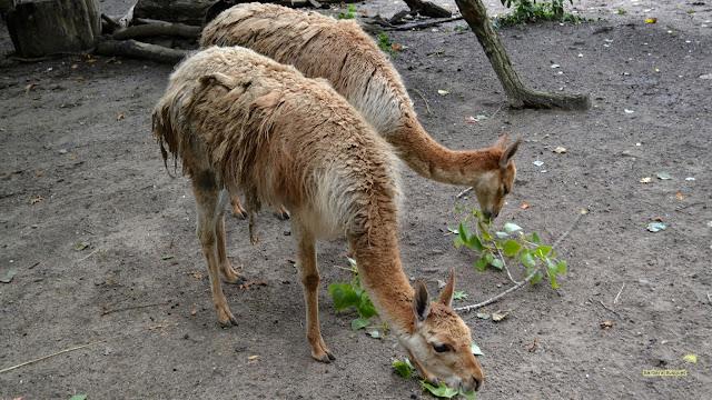 Twee etende lama's