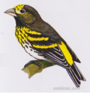 Kumpulan Foto Burung Manyar Terbaik Foto Burung Kicau