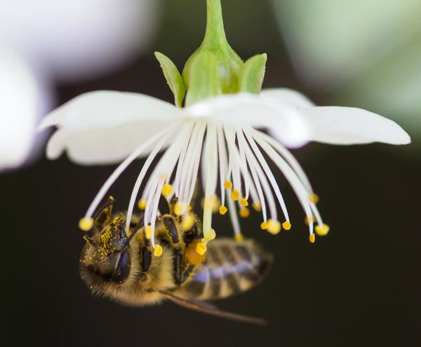 PauMau blogi valokuvaus photography luontokuva luontovalokuvaus nature puutarha kukka mehiläinen ampiainen pölytys makrokuva flower bee macro macrophtography
