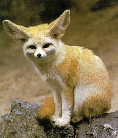 Pet Fox Food