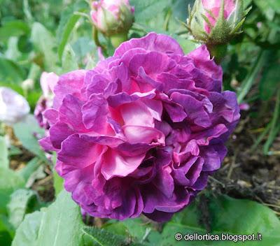 rosa nel giardino della fattoria didattica dell ortica a Savigno Valsamoggia Bologna vicino a Zocca in Appennino