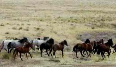 Amazing facts About Mustang Horses