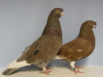pigeon breeds - chinese - Chinesischer Tümmler