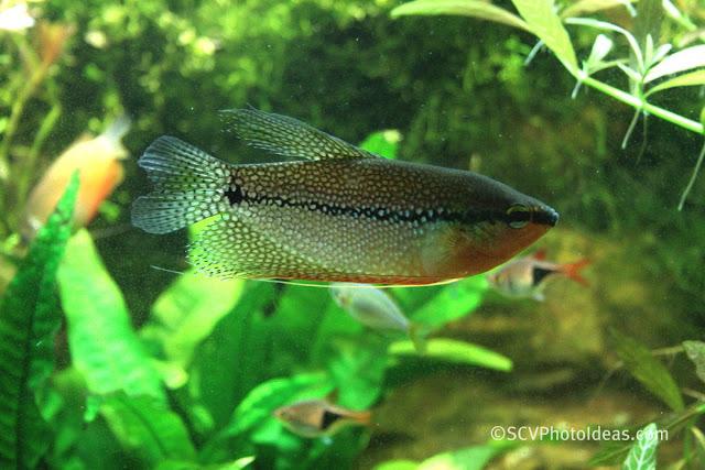 Pearl Gourami (Trichogaster leerii) male