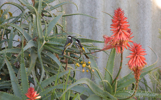 white-cheeked honeyeaters