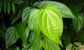 Paling bagus Manfaat daun sirih untuk daerah kewanitaan