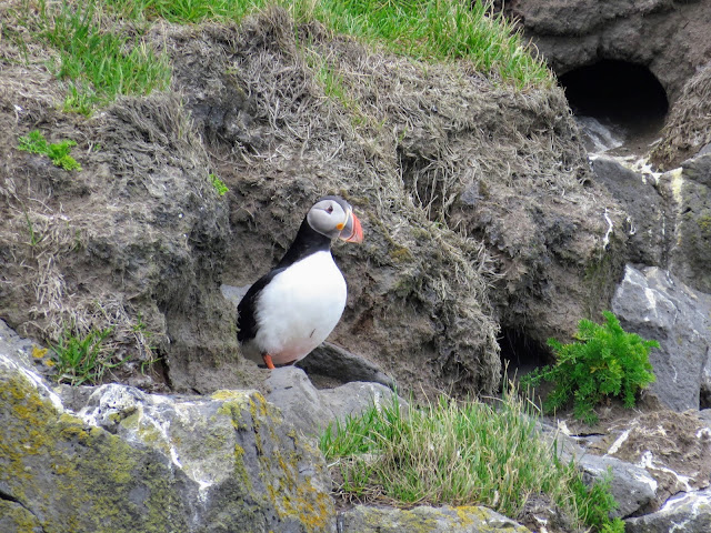 Close up of a puffin near Vik Iceland