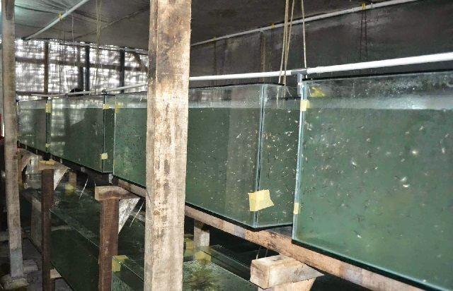 Syarat Pembenihan Ikan Patin - Corong Penetasan Telur