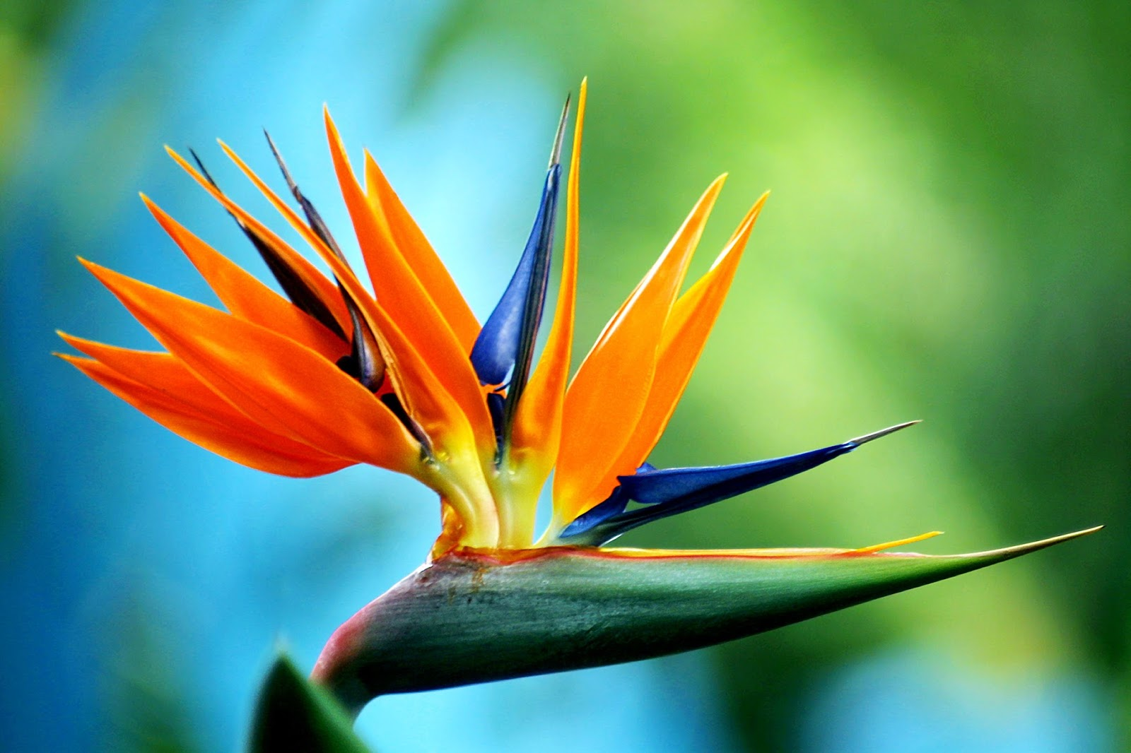 Top 10 most beautiful flowers in the world toptenlist the birds of paradise are members of the family paradisaeidae of the order passeriformes the majority of species are found in eastern indonesia izmirmasajfo Image collections