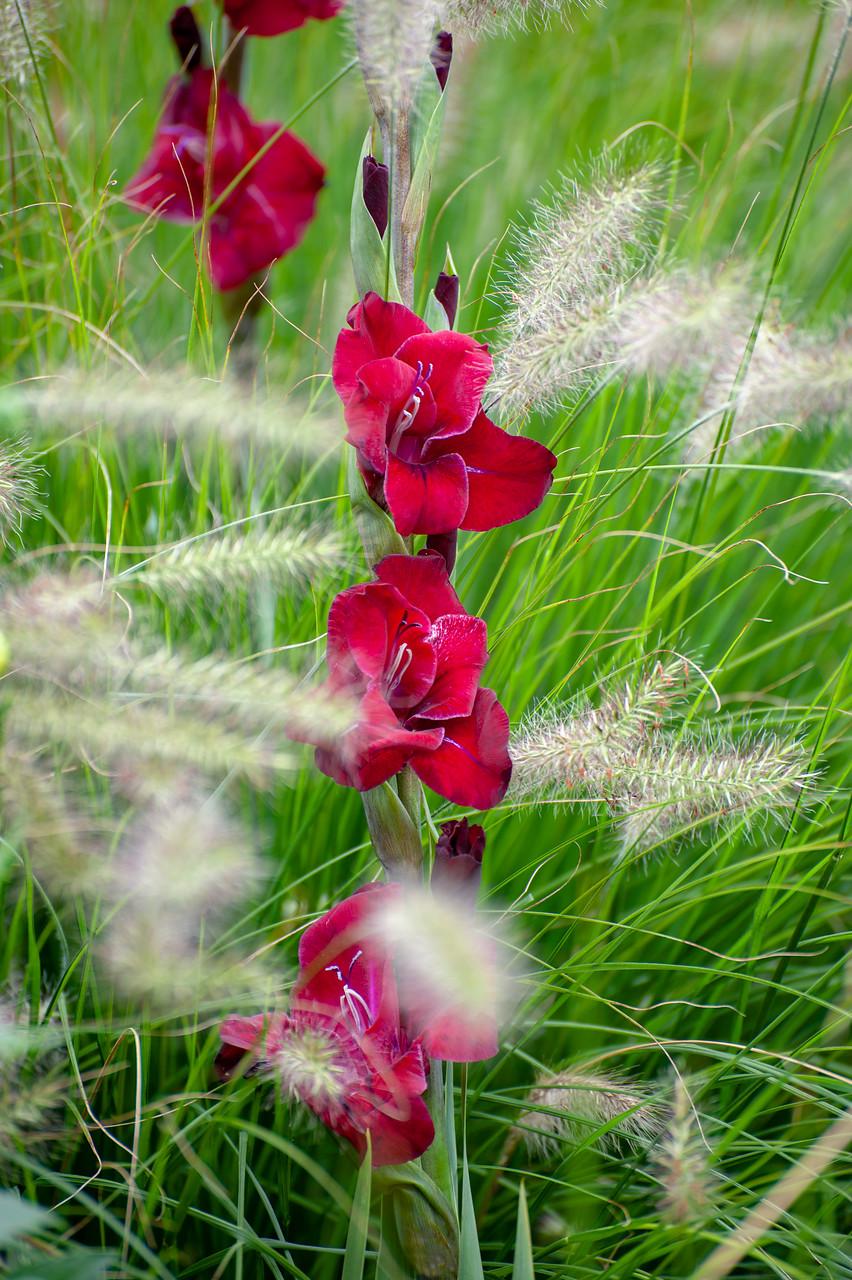 Flores gladiolos color rojo