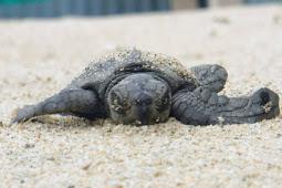 ウミガメ赤ちゃん大海原へ