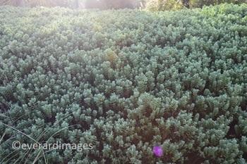 Hebe Images   GardenAndHealth