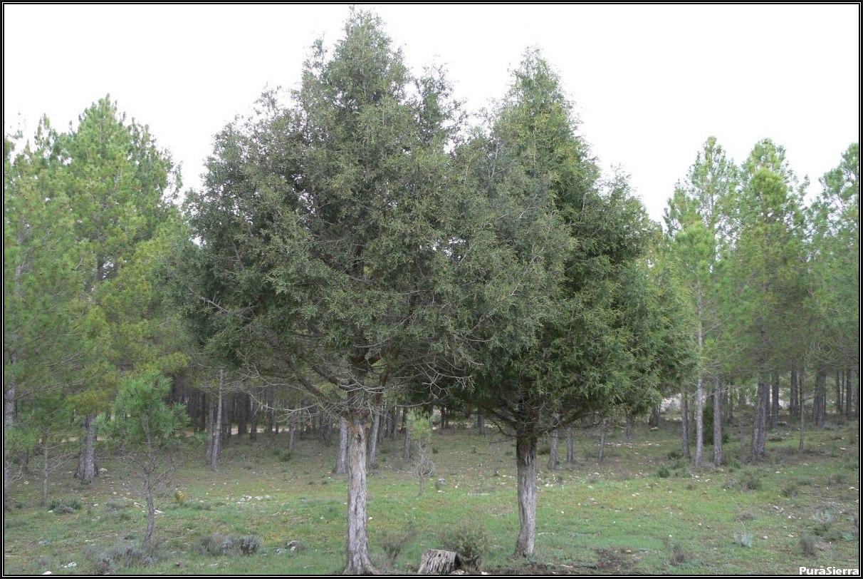 Sabinas en Cañada Del Hoyo