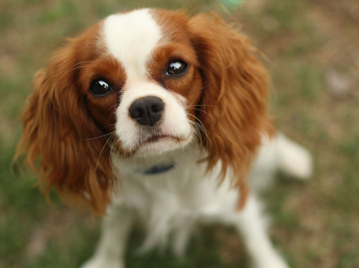 Cute Little Puppies Wallpapers Unnamed Cavalier King Charles Spaniel